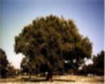 Arganbaum (Arganie)